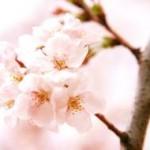 赤城南面千本桜が見たい!!  気になる見頃は?駐車場は?アクセス方法は?