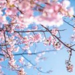 角館の桜が見たい!!  気になる見頃は?駐車場は?アクセス方法は?