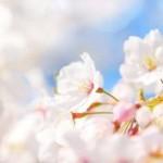 三春の滝桜が見たい!!  気になる見頃は?駐車場は?アクセス方法は?