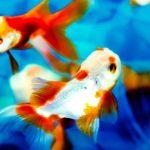 金魚を病気から守りたい!!予防と治療方法を紹介!!
