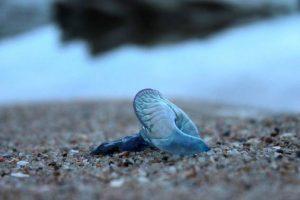 浜にクラゲが打ち上げられる