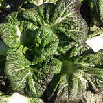 紫高菜の漬物はどう作るの?作り方と保存方法や期間を紹介!!